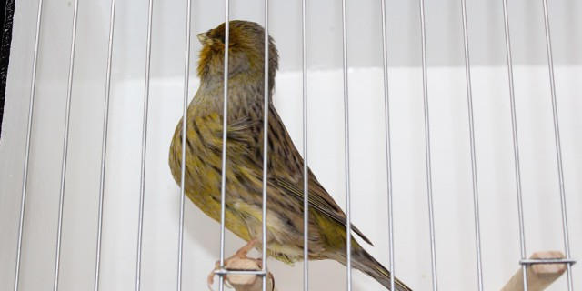 NORWICH_CANARY