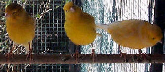 pet_canary_img